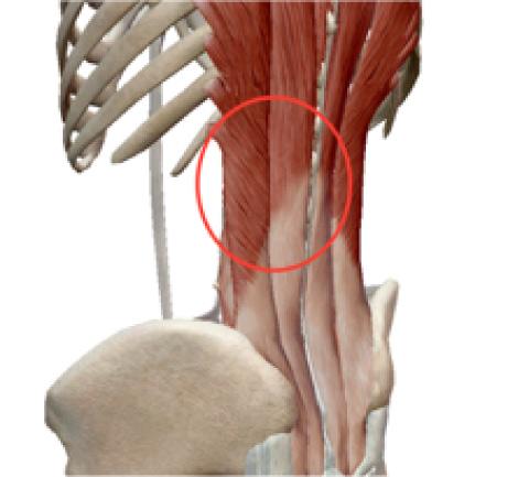 ④筋肉・筋膜